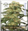 Dutch Passion Pamir Gold Fem 10 Ganja Seeds